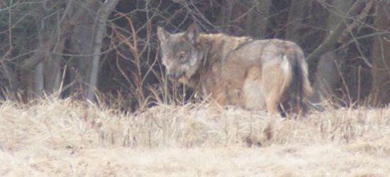 ZAGÓRZ: Popołudniowe spotkanie z wilkiem (FOTO)