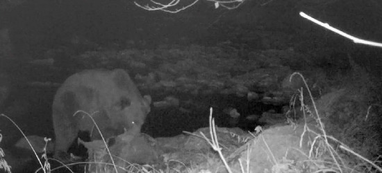 Z pustym brzuchem nie wypada spać. Niedźwiedzie objadanie (VIDEO)