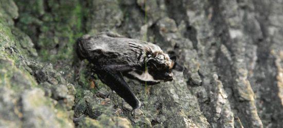 Nietoperze wylatują na żer. Pierwsze oznaki wiosny (ZDJĘCIA)