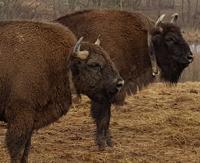 Odbudowa stada żubrów w Bieszczadach to precedens na skalę światową (FILM, ZDJĘCIA)