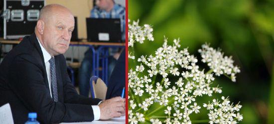 POWIAT SANOCKI: Inwazyjna roślina. Dyskusja na sesji rady (VIDEO)