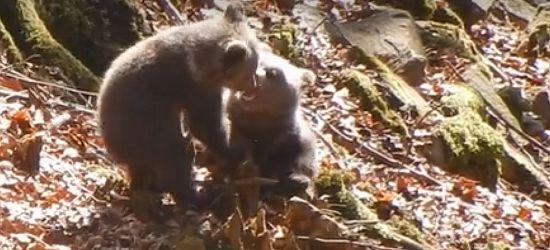 Zapasy w bieszczadzkim lesie. Zmagania niedźwiadków pod czujnym okiem mamy (VIDEO)