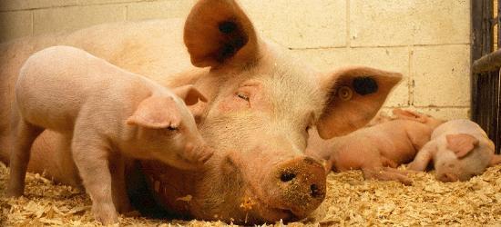 Afrykański pomór świń dotarł na Podkarpacie