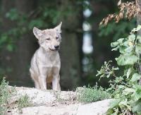 BIESZCZADY: Niczym duch, przemknie czasem wilk… za plecami leśniczego z Polanek (FILM)