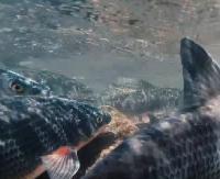GMINA ZAGÓRZ: Na rzece Osławie trwa tarło świnki (VIDEO z 2016 roku)