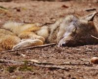 LESKO24.PL: Myśliwi stanęli przed sądem za zabicie i oskórowanie wilka w Bieszczadach