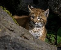 BIESZCZADY: Rysiczka była wycieńczona. Kociaka uratowali leśnicy (ZDJĘCIA)