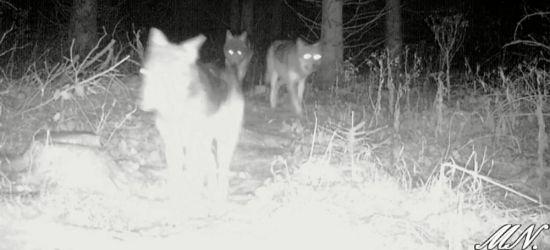 BIESZCZADY: Łańcuch pokarmowy. Zima to idealna pora dla wilka (VIDEO)