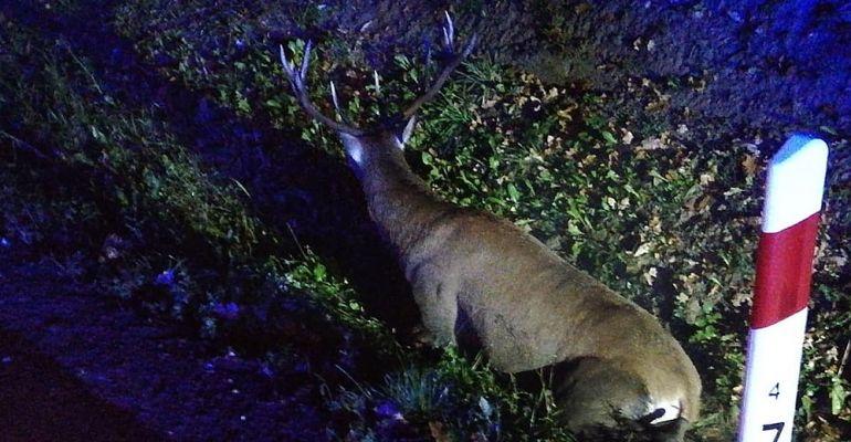 UWAGA! Jeleń wbiegł na drogę i zderzył się z osobówką. Ranne zwierzę w rowie (ZDJĘCIA)