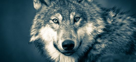 HOŁUCZKÓW: Wataha wilków uchwycona w pobliżu domów! Apel! (VIDEO)