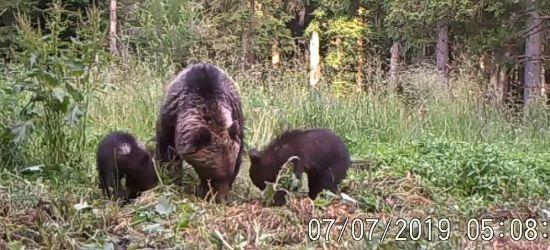 Niedźwiedzice chętnie przyprowadzają młode w takie miejsca (VIDEO)