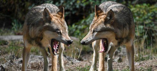 CZASZYN: Kolejny pies pożarty przez wilka? (DRASTYCZNE ZDJĘCIA)