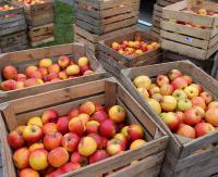 Darmowe jabłka dla sanoczan. Uwaga: Zmiana miejsca wydawania owoców