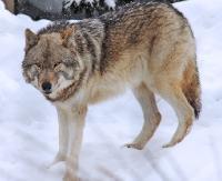 Wataha wilków zaobserwowana w okolicach Pisarowiec. Zagryziona sarna w Zahutyniu (2x FILM, ZDJĘCIE +18)