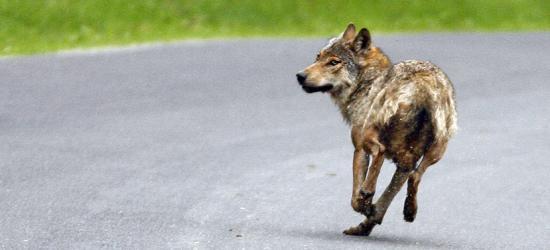 BIESZCZADY: Wilk zaatakował dwoje dzieci! Mają rany szarpane nóg. Zwierzę zastrzelono