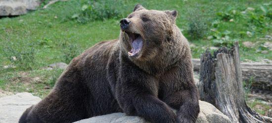 Niedźwiedź zdewastował leśniczówkę. Wyrwał skrzynkę elektryczną! (FOTO)