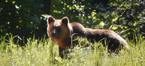 BIESZCZADY: Kiedy na leśnej drodze spotyka się niedźwiedzia (VIDEO)
