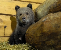 Niedźwiedzica Cisna już w Poznaniu (ZDJĘCIA)
