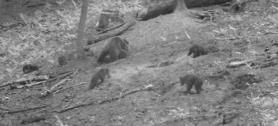 W okolicach Bykowiec i Załuża widziano niedźwiedzia