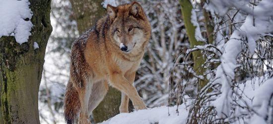 BIESZCZADY: Skrajne opinie o wilkach. Strzelać czy chronić?