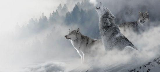 Trwa odstrzał wilków na Słowacji. Ekolodzy z Polski protestują