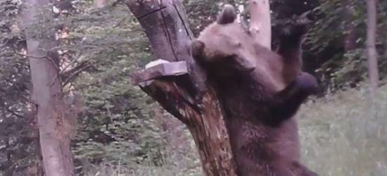 BIESZCZADY: Tańczący niedźwiedź? Nie, on tylko drapie się po plecach (VIDEO)