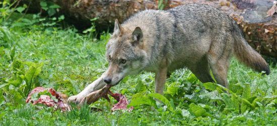 Znaleziono szczątki psa. Zagryzły go wilki? (DRASTYCZNE FOTO)