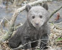 Głodny i samotny niedźwiadek uratowany w Bieszczadach (FILM, ZDJĘCIA)