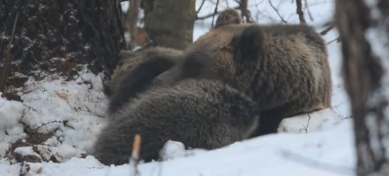 BIESZCZADY: Niedźwiedzie zapadają w zimowy sen. Zobaczcie VIDEO