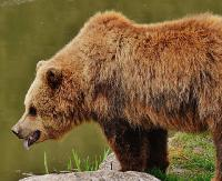 GMINA KOMAŃCZA: Niedźwiedzica zaatakowała mężczyznę. 27-latek ma obrażenia głowy