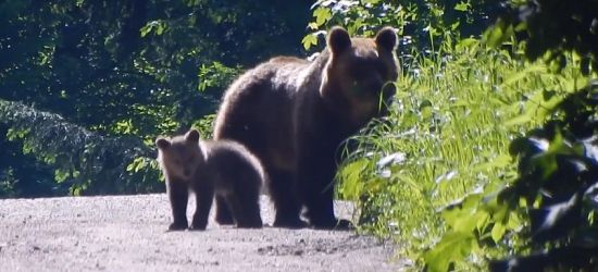 Bieszczadzkie niedźwiedzie i niedźwiadki (VIDEO)