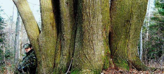Potężna lipa z iwonickiego lasu już z imieniem