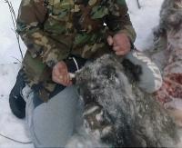BIESZCZADY: Rozszarpany żubr. Zwierzę najprawdopodobniej padło ofiarą wilka (ZDJĘCIA +18)