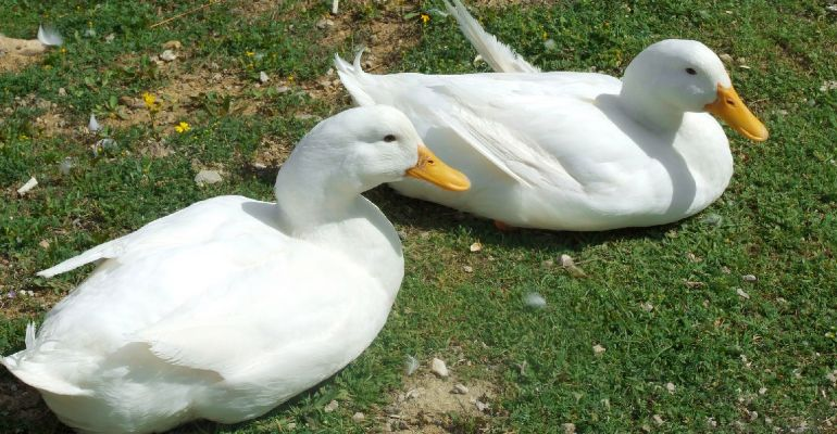 POWIAT BRZOZOWSKI: 34-latek ukradł i zjadł dwie kaczki