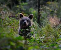 BIESZCZADY: Uwaga na niedźwiedzie! Spotkanie oko w oko grozi niebezpieczeństwem
