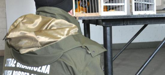 Na podkarpackiej granicy z Ukrainą zatrzymano osiem papug zagrożonych wyginięciem (ZDJĘCIA)