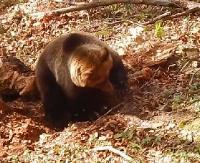 BIESZCZADY: Niedźwiedź poluje na nornicę. Kto zwycięży w tej konfrontacji? (FILM)