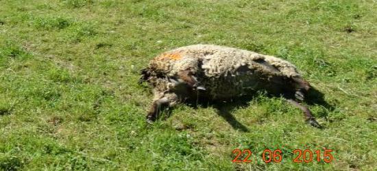 LALIN: 24 owce zagryzione przez wilki. Publikujemy zdjęcia z miejsca zdarzenia (ZDJĘCIA)