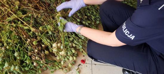SANOK: Na ogródkach działkowych uprawiała mak. Zabezpieczono 13 kg sadzonek (FOTO)