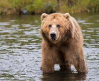 """Nadleśnictwo Ustrzyki Dolne ostrzega przed niedźwiedziami! """"Miśki"""" jesienią stają się aktywne i intensywnie żerują"""