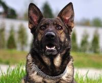Pies straży granicznej znalazł 7 woreczków z amfetaminą (ZDJĘCIA)