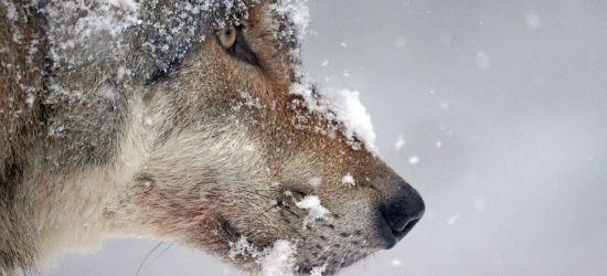 BIESZCZADY: Nie udało się odstrzelić wilka z Wołkowyi