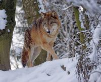 Wilk spaceruje coraz śmielej po Sanoku. Tym razem w okolicy mostu białogórskiego (FILM)