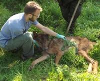 Wilk wpadł do studni. Ludzie go wyciągnęli (ZDJĘCIA)