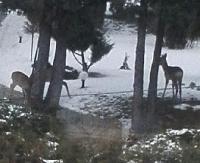 Leśnicy odradzają dokarmiania dzikiej zwierzyny. Sarny przy ulicy Matejki w Sanoku