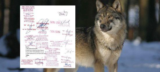 Samorządowcy napisali do ministra w sprawie wilków. Domagają się odstrzału redukcyjnego lub odłowienia części osobników