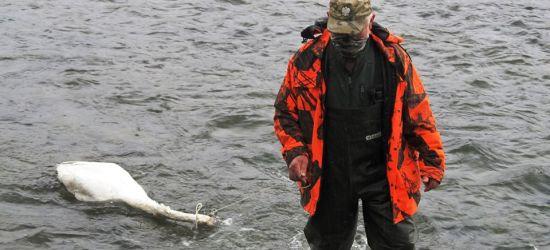 Martwy łabędź znaleziony przy ujęciu wody w Zagórzu (ZDJĘCIA)