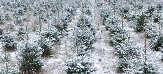 Drzewek na święta nie zabraknie (ZDJĘCIA, VIDEO)