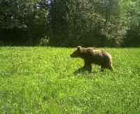 BIESZCZADY: Fotopułapka czasami i niedźwiedzia uchwyci. Drapieżnik przemierza bieszczadzkie lasy (VIDEO)