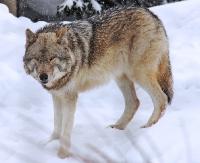 Martwy wilk pod Baligrodem (w rozwinięciu zdjęcie zwierzęcia)
